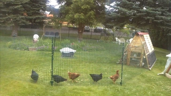 Chicken Fence Panels