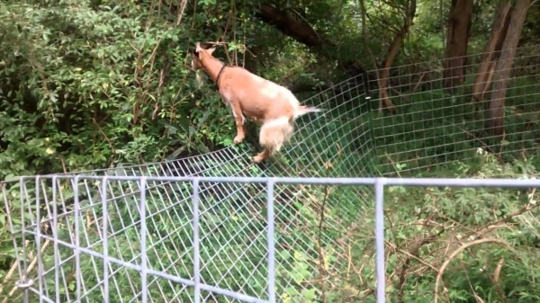 Best Fencing For Goats